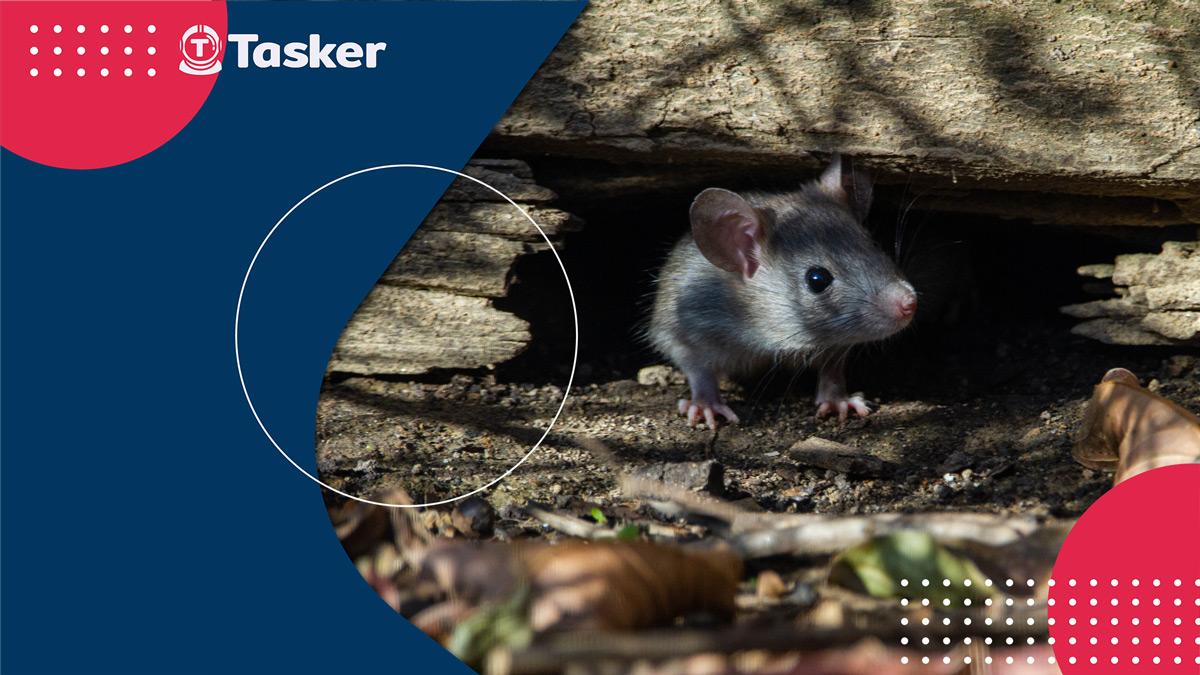 老鼠怕什麼?老鼠防治方法就靠這幾招